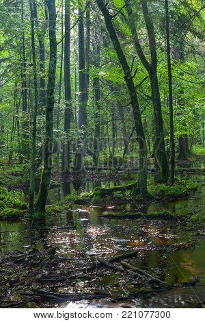 Summertime sunrise in wet deciduous stand with standing water, Bialowieza Forest, Poland, Europe