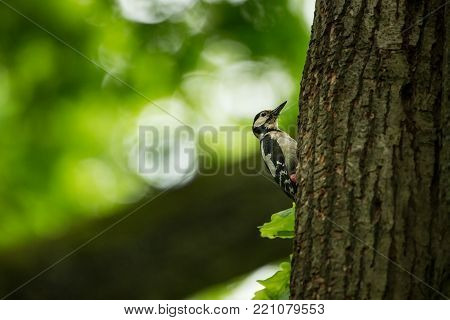 Dendrocopos major. Wild nature of Czech. Free nature. Bird on the tree. Beautiful picture. From bird life. Nature. Forest. Spring. Spring nature. Expanded in Europe.
