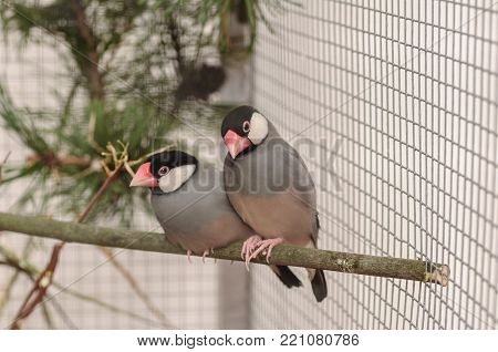Two birds Amadin in the cage on the branch