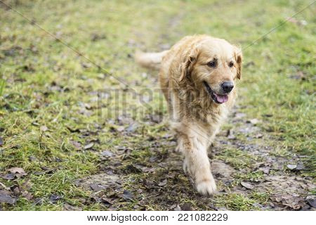 old pedigreed golden retriever dog autumn portrait