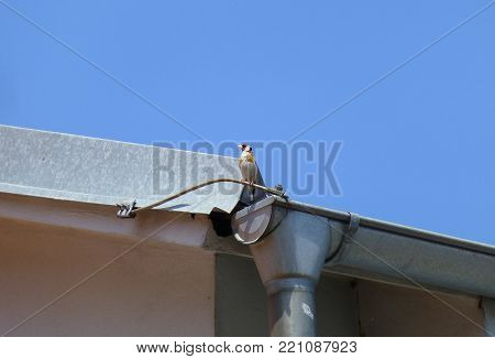 Photo of a goldfinch sitting on the metal rain gutter