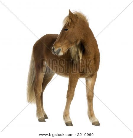 Shetland pony (2 years) in front of a white background poster