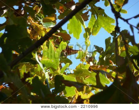 Oak Tree In Sun Against Blue Sky