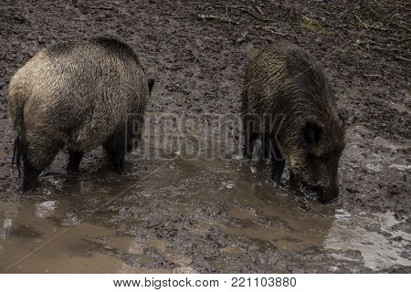 Wild boar looking for food in the mud during rainy weather, Bialowieza Forests, Poland, Europe
