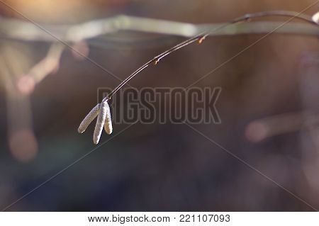 Lamb Corylus avellana, male inflorescence of hazel, spring background.
