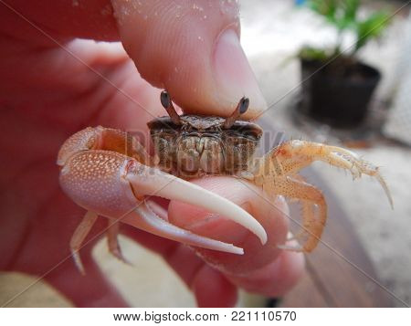 A small Fiddler Crab with a large right claw. this claw is more white with an orange undertone.  Here the other walking legs are also very visible along with the crabs mandible and eye stalks.