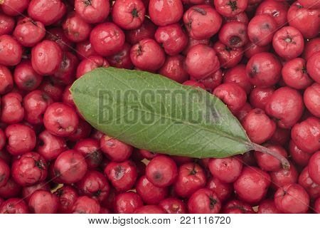 Closeup ripe red Heteromeles arbutifolia toyon fruit with single green leaf on top