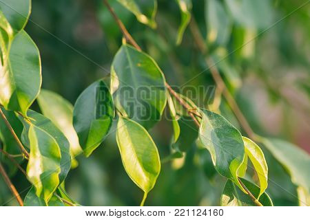 Young Tree Branches Fresh Green Leaves Botanical Foliage Background. Golden Sunlight Flare at Dawn. Easter Nature Awakening. Spring Summer. Purity Balance Harmony Tranquility Concept
