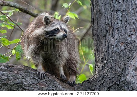 Raccoon in a Tree at Ojibway Nature Preserve in Windsor, Ontario on 2017-05-17