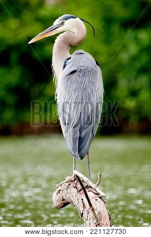 Great Blue Heron perched on a hanging branch in Malden Park at Windsor, Ontario Canada