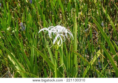 White Swamp Lily Flower