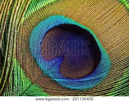 Peacock feather, isolated on a white background closeup