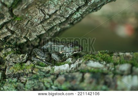 Green Frog On The Tree. Bark With Moss. Brown Amphibian