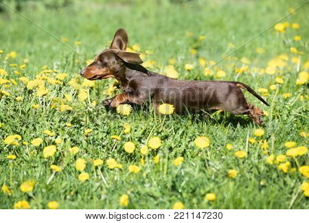 purebred miniature dachshund and dandelions