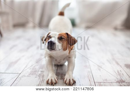 Cute dog stretches at home. Pet at morning. Copy space