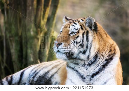 Adult Siberian tiger, Panthera tigris altaica, in afternoon sunlight. This endangered cat is indigenous to Siberia and far eastern Russia.