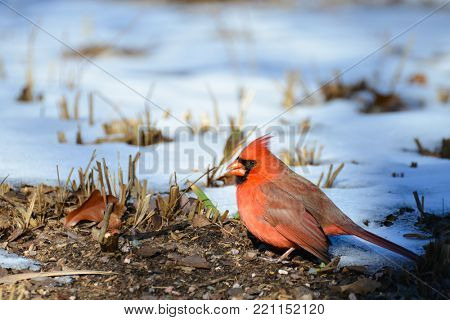 Cardinal Bird in the winter