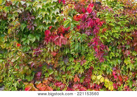 Colorful Vines of Virginia creeper, Victoria creeper, five-leaved ivy in red green and dark purple black berry growing on wall during Autumn in Europe