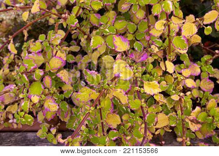 Colorful leaves of Painted Nettle Coleus in yellow green pink magenta growing in Italy during Autumn, Europe (Plectranthus Sp.) Solenostemon