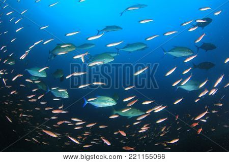 School of Trevally (Jack) fish hunting sardines