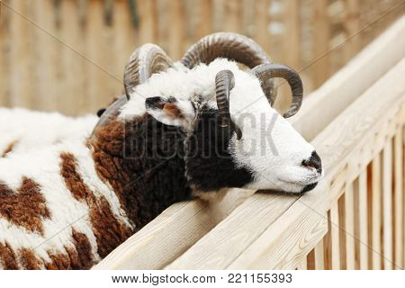 Cute Jacob sheep in enclosure
