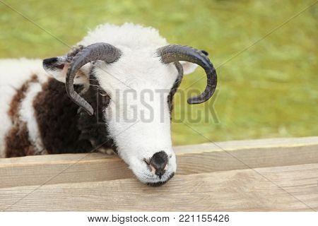 Cute Jacob sheep in enclosure, closeup