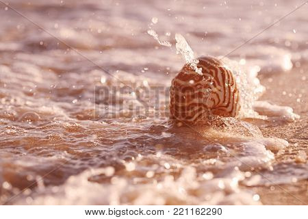 nautilus sea shell in splashing sea wave in rose gold sunset light, live action
