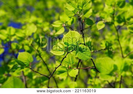 Light shining through the leaves of a little leaf linden tree or the Tilia cordata tree.