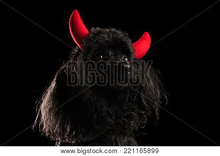 cute black poodle wearing red devil horns as a costume, studio picture