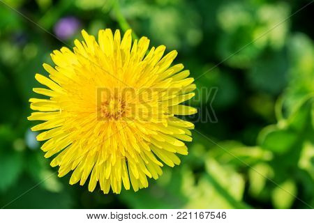 Dandelion in a field of green grass. Spring background.