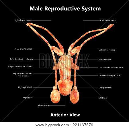 3D Illustration of Male Reproductive System with Detailed Labels Anatomy (Anterior View)