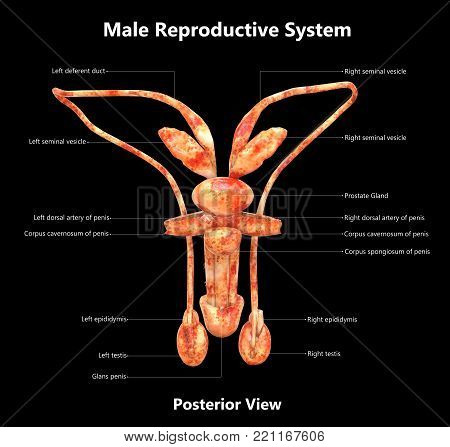 3D Illustration of Male Reproductive System with Detailed Labels Anatomy (Posterior View)