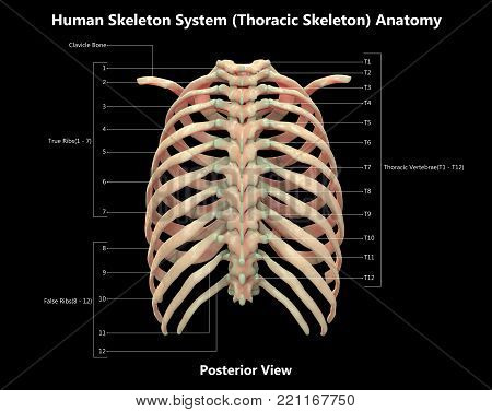 Human Skeleton System Thoracic Skeleton with Detailed Labels Anatomy (Posterior View)