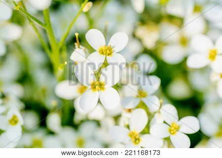 Spring background. White flower blossoms close up .