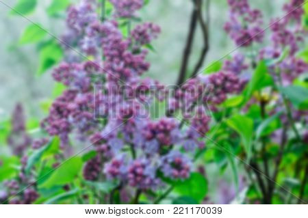 purple lilac flowers close up in sring day