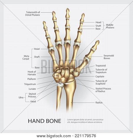 Human Hand Bones with Detail Vector Illustration