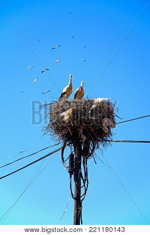 Adult storks n a large nest made of twigs and branches on a telegraph pole against a blue sky, Algarve, Portugal, Europe.