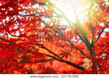 Bright red Japanese maple or Acer palmatum leaves and sunlight on the autumn garden