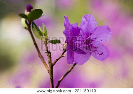 Beautiful spring tree flowers. Rhododendron flower. Azalea Rhododendron Flower. Purple Rhododendron. spring flowers