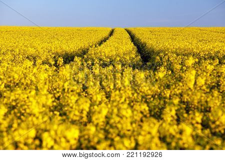 Field of rapeseed, canola or colza, in latin brassica napus with rural road and clear sky - rape seed is plant for green energy and green industry, golden springtime flowering field