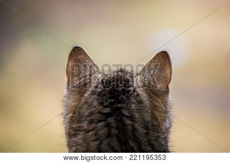 Back Of The Head Of The Kitten On A  Blurred Background. The Kitten Looks. A Domestic Kitten.