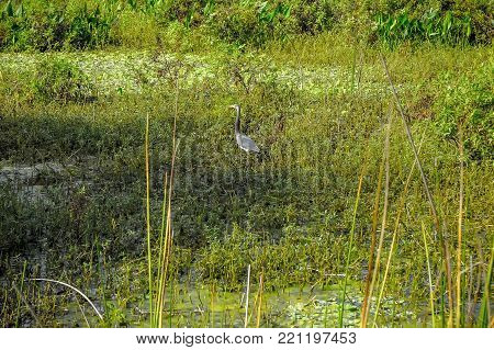tricolored heron  (egretta tricolor) wading in the marsh