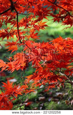 Close-up of bright red branches of Japanese maple or Acer palmatum on the autumn garden