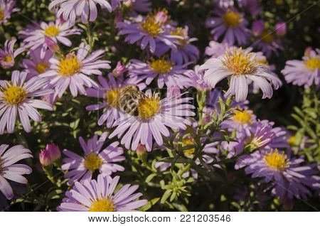 honey bees pollinate the flowers in early autumn. Symphyotrichum novae-angliae, Aster novae-angliae, New England aster, hairy Michaelmas-daisy, Michaelmas daisy. close up macro.