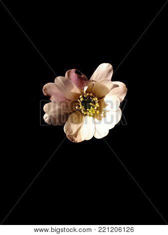 Anemone Blanda White Splendour on Black Background