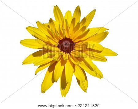 One cutleaf coneflower yellow flower isolated on white.