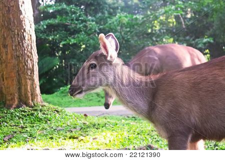 deer are eating grass in the morning