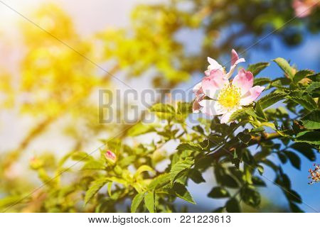 Beautiful pink and white dog-rose flower on branch with blue sky in background with golden glow from the sun