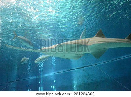 Underwater View Of Marine Life Saw Of Sawfish In Genoa Aquarium