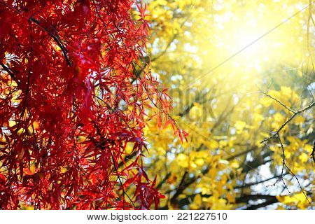 Bright red Japanese maple or Acer palmatum branches on the sunny autumn garden